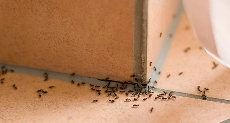 Image result for Ant Control In Your Home